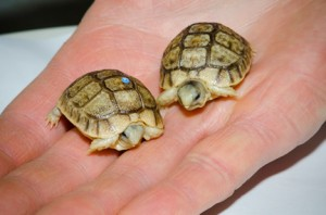 Woodland Park Zoo works to stem global turtle extinction phenomenon and celebrates recent hatchlings from two turtle species, the Egyptian tortoise and western Washington pond turtle.