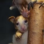 Tree kangaroo joey 2012. Press room photo