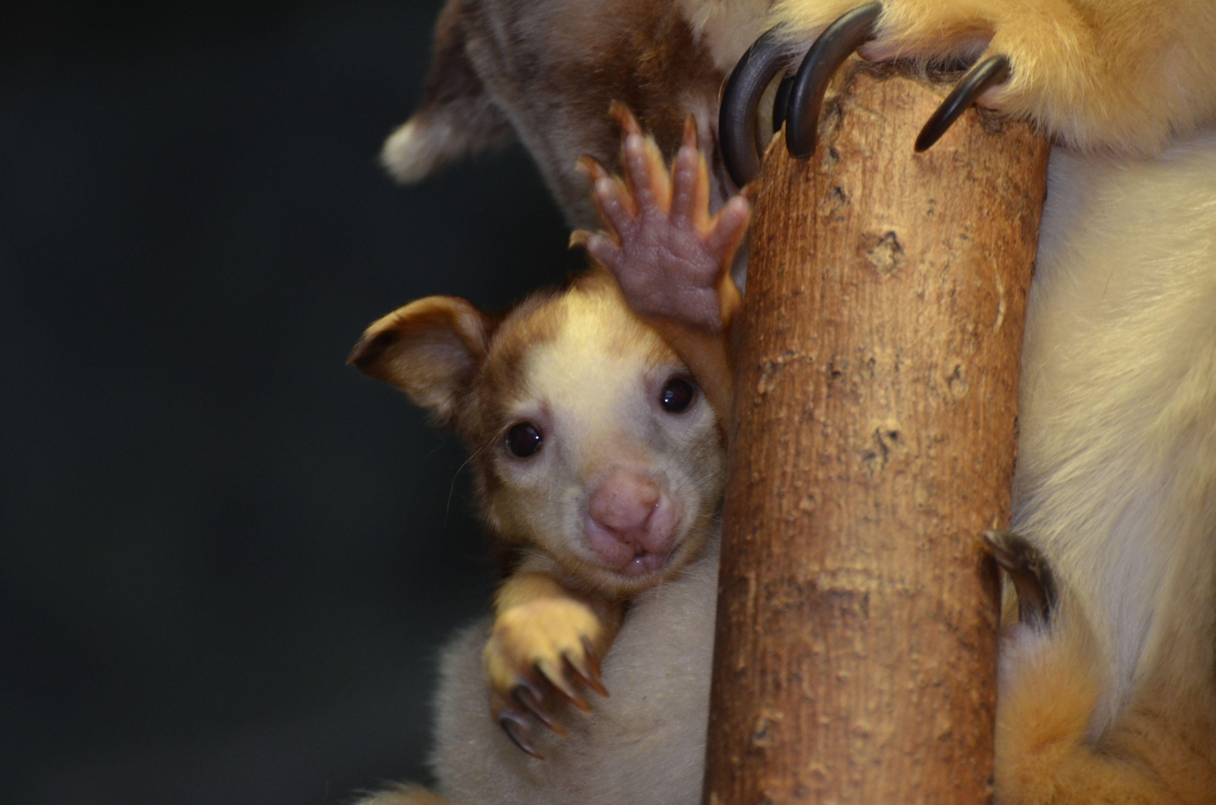 Travel PR News | Saint Louis Zoo Is Jumping with Joeys