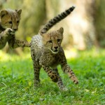 OLYMPIC ATHLETES TO MEET NATIONAL ZOO'S CHEETAH CUBS AND VISITORS