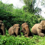 The elephants - Thong Kam, Bounma, Phuang Phet and Yuki
