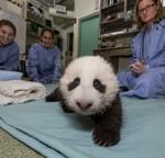 Baby Steps for San Diego Zoo's Giant Panda Cub
