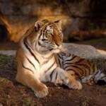 Mizzoui Tigers for Tigers sponsorship