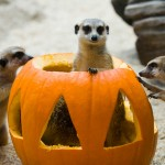Pumpkins for the animals, kid-friendly programs inside Zoomazium, trick-or-treating, and a variety of festive fall activities are in store for Woodland Park Zoo's popular Pumpkin Bash, Saturday-Sunday October 13-14, 20-21, and 27-28, 9:30 a.m.-2:30 p.m. Photo Credit: Ryan Hawk/Woodland Park Zoo