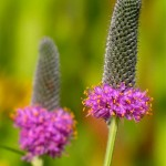 Purple Prairie Clover by Dawn Mazur. Photo taken in July 2011 at South Pond in Lincoln Park.