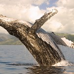 Whale Watching Four Seasons Resort Maui Style Set for Winter Season 2012-13