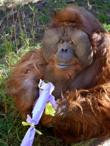 Orangutans, warthogs, grizzlies, and more will be treated to holiday-themed treats at Woodland Park Zoo's Winter Celebration, Dec. 17-19 and Dec. 26-28.