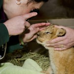 Quadruplet lion cubs at Woodland Park Zoo receive their first health examination. Born Nov. 8, the cubs are two males and two females.