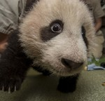 San Diego Zoo's Giant Panda Cub Says, 'Look into my Eyes!'