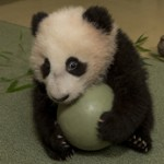 "San Diego Zoo's Panda Cub, ""All Mine and I'm Not Sharing!"""