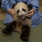 San Diego Zoo, Xiao Liwu Shows Off Growing Belly