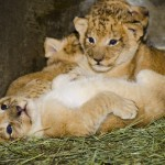 Woodland Park Zoo's South African lion cubs continue to thrive behind the scenes under the care of 3-year-old mama Adia (ah-DEE-uh). The attached photos were taken Nov. 27. The cubs were born Nov. 8 and mark the first birth of lions at the zoo since 1991.