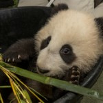 New Year, New Adventures for the San Diego Zoo's Panda Cub