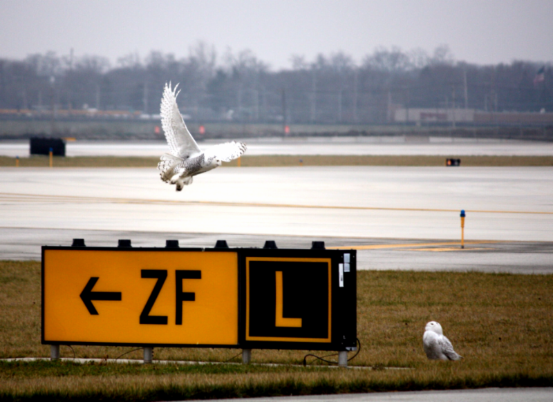 Two Snowy Owls at O'Hare International Airport