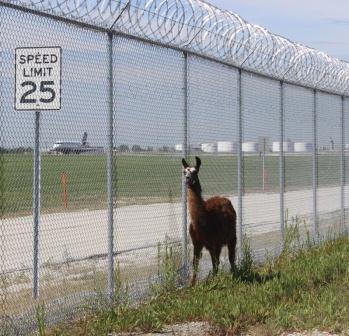 O'Hare's grazing herd llama