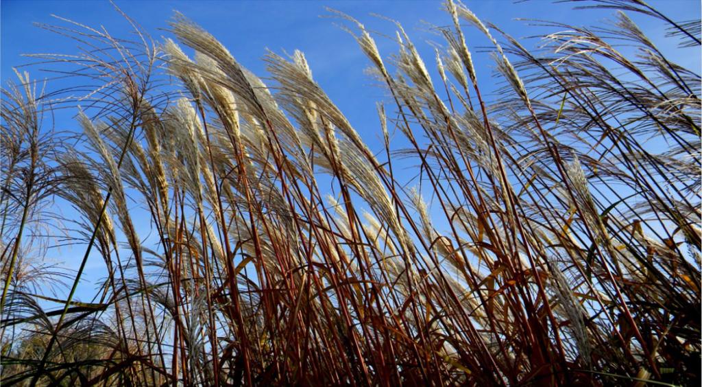 The University of Iowa Biomass Fuel Project