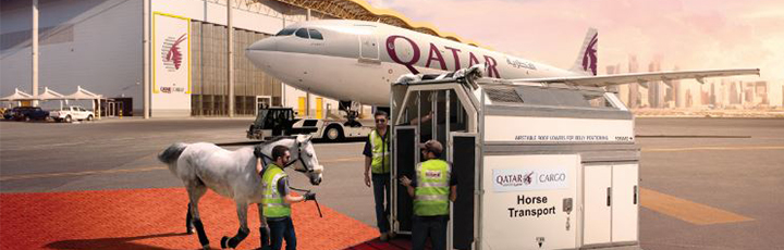 Qatar Airways Cargo transported 118 top class show jumping and dressage horses from Liege, Belgium to Doha, Qatar