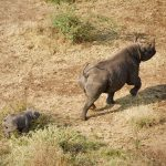 Singita Grumeti new black rhino calf