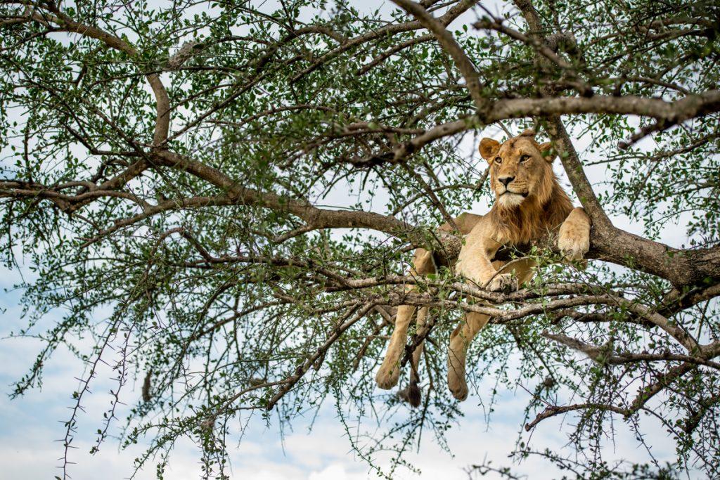 Lion, Singita Grumeti