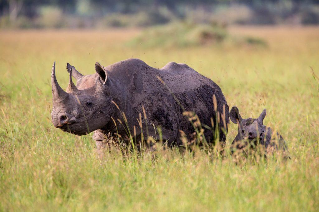 Black rhino female and calf, Grumeti Fund,