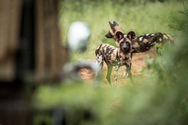 Wild dog at Singita Pamushana