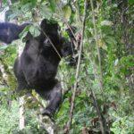 gorilla-in-bwindi-national-park.jpg